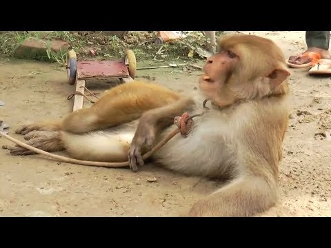 Sapna Chaudhary Ki Tarah Dance Karti Hai Ye Bandariya | Comedy Video From My Phone