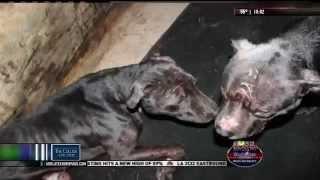 Dog fighting bust in Sabine Parish