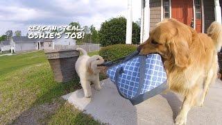 Reagan The Golden Retriever Puppy Steals Oshie's Job!
