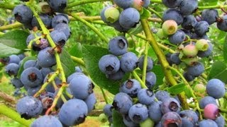 Supporting Local Farms: Blueberry Picking!