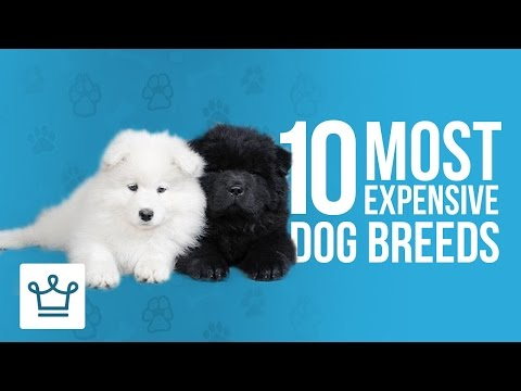 10 Most Expensive Dog Breeds In