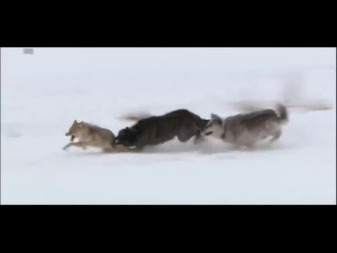 Wolves vs coyote HD