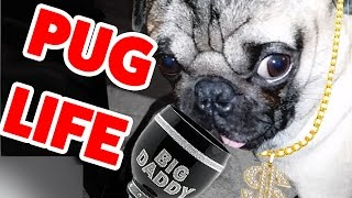 Pug Life! The Funniest & Cutest Pug Home Videos Weekly Compilation | Funny Pet Videos