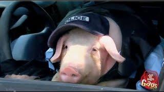 Pig Police