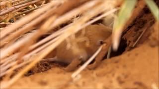Gerbill (Gerbillus), Hodh ech Chargui, Mauritania