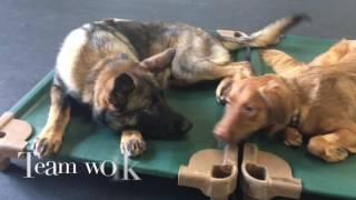 6-Month Old GSD, Boaz! German Shepherd Dog Training   Electronic Collar Training DMV
