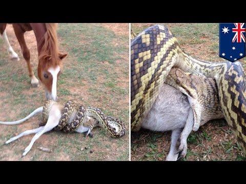 Ular memangsa kangguru kecil dan kuda menontonnya - Tomonews