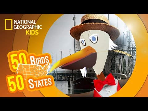 watch Louisiana - Feat. Rapper MC Pel the Eastern Brown Pelican   50 BIRDS, 50 STATES