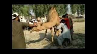 camel ki qurbani ka mansoon tariqa nahar اونٹ ذبح کرنے کا مسنون طریقہ