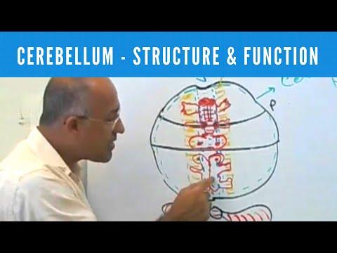 Xxx Mp4 Cerebellum Structure Function Neuroanatomy 3gp Sex