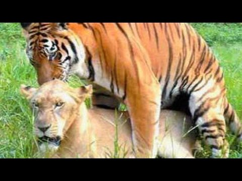 Animals Mating - LION TIGER Love