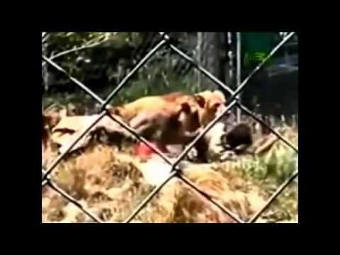 leon ataca a niña y ademas personas
