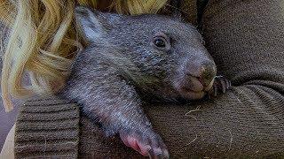 Orphan Wombat