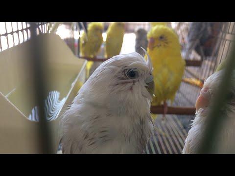 Muhabbet Kuşu Nasıl Banyo Yapar -budgerigar and bath - Banyo Keyfi