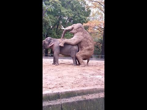 Xxx Mp4 Paarung Elefanten Berliner Zoo 3gp Sex