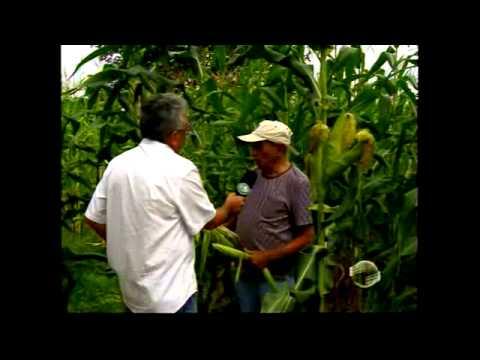 Fazenda inova na produção de milho para alimentar gado Zebu