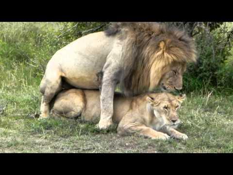 Xxx Mp4 Lions In Love From Maasai Mala 3gp Sex