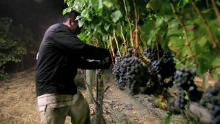Night Harvest | Harvesting Merlot Grapes for Jordan Cabernet Sauvignon | Alexander Valley