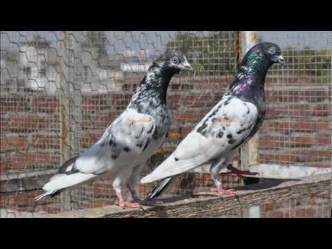 Binawalaa sialkoti pigeon pakistani kabootar tippler dk