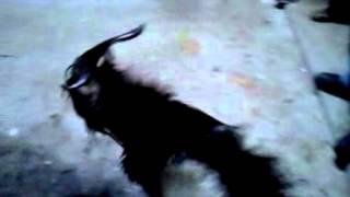 A goat rapes my dog