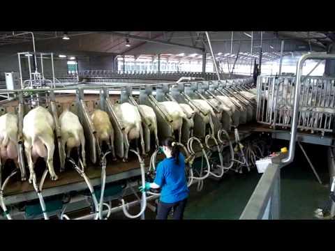 180 Stall Goat Rotary milking parlor Westfaliasurge part 1