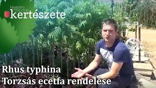 Rhus typhina - Torzsás ecetfa rendelése