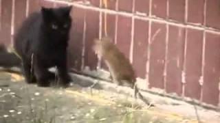 Gato x Rato - Verdade ou mito?