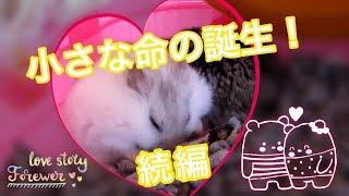 出産中② (苦手な方はスルーを) ♪ハムスター♪  Two in childbirth. Hamster