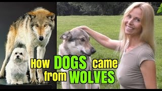 How DOGS came from WOLVES - Wolf Girl Anneka Explains