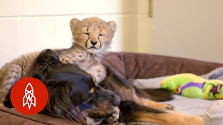 This Dog Raises Baby Cheetahs (And Wallabies and Ocelots)