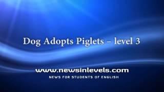 Dog Adopts Piglets – level 3
