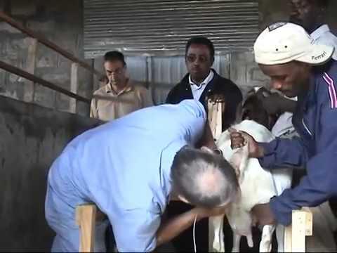 Xxx Mp4 Goat Artificial Insemination 3gp Sex