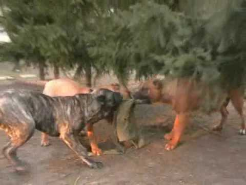 PRESA DOGO CANARIO puppies playing Hungary