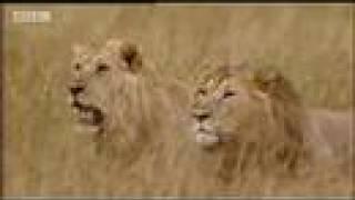 King lion under attack - BBC wildlife