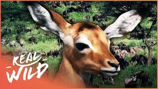 Fawn identity [Impala and Gazelle Documentary] | Wild Things