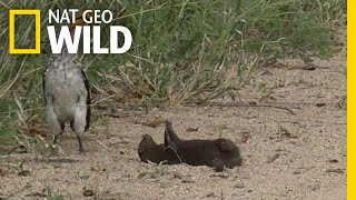 Is this Mongoose Playing Dead or Just Playing? | Nat Geo Wild
