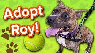 Adopt Roy // Pitbull // Adoptable Featurette