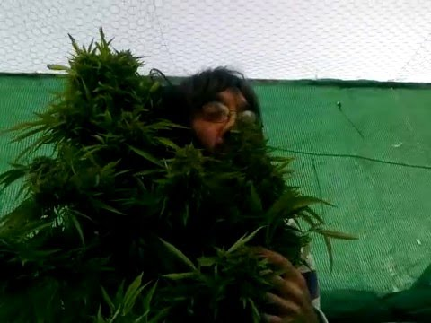 El super cogollo de marihuana de makapeta.