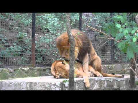 Xxx Mp4 Lions Sex In Yalta Zoo 2012 3gp Sex