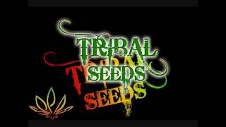 Tribal Seeds Beautiful Mysterious