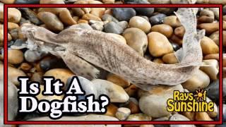Metal Detecting Dogfish On The Beach (63)