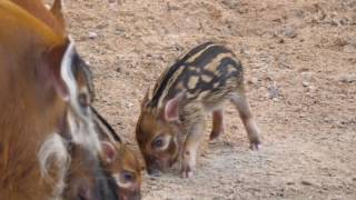 Red River Hog Babies at the Houston Zoo