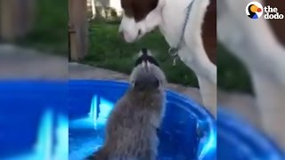 Raccoon Grows Up With Dogs As Her Brothers