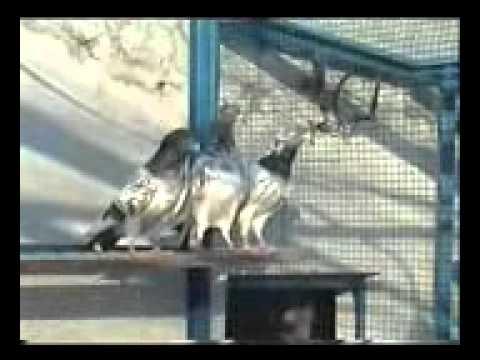 Xxx Mp4 Pakistani Pigeons Malik Usman Doga 2010 Part 3 Phon No 03009529610 03035601465 3gp Sex