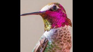 عبيد العوني  طائر التمير الطنان في الجزيرة العربية  طيور نادرة جدا sunbirds