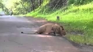 Lion in Konkan