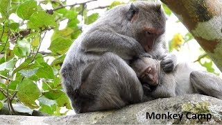 Mom try to clean baby's skin on high tree - Lovely Mom and pretty baby monkey -Monkey Camp Part 2266