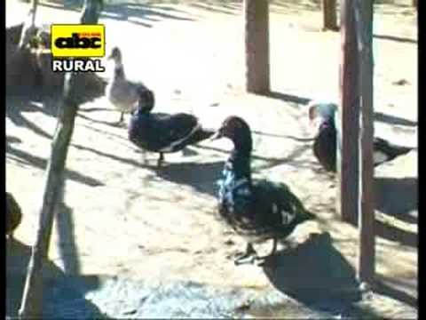 La avicultura y la mandioca