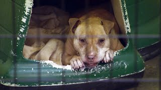 This 14-Year-Old Pit Bull Is Finally Headed To Her Forever Home | Pit Bulls & Parolees