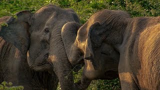 Elephant Mother has Calf Stolen by another Female   BBC Earth